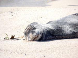 Seal on the Beach Kauai