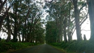 Tree Tunnel Kauai